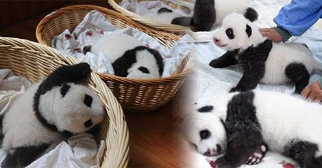 bebe-panda-premiree-public