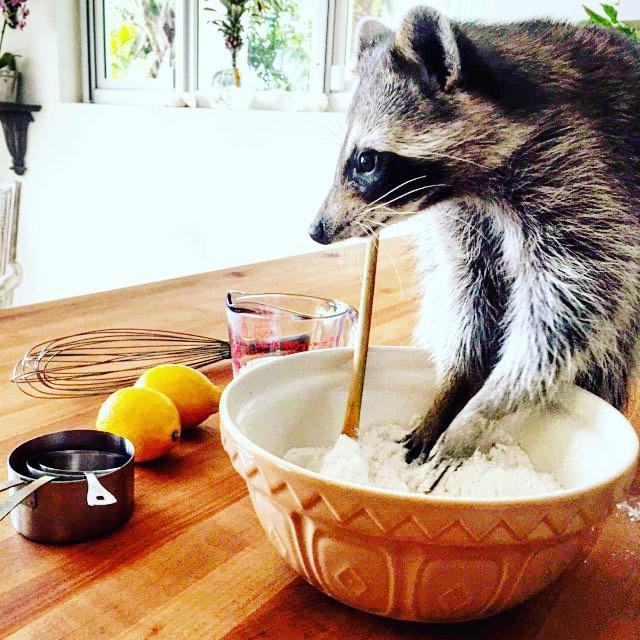 Raccoon-Rescued-16