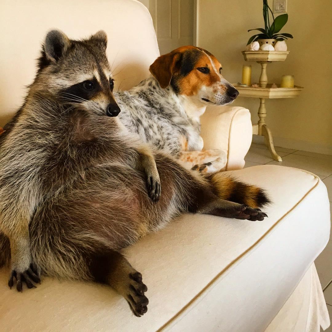 Raccoon-Rescued-3