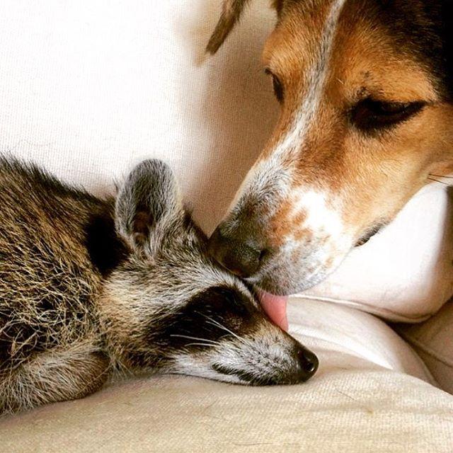 Raccoon-Rescued-7