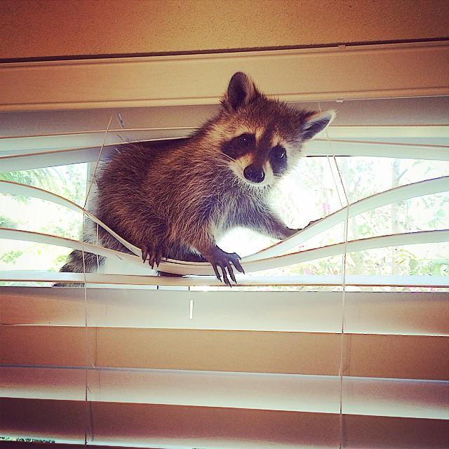 Raccoon-Rescued-8