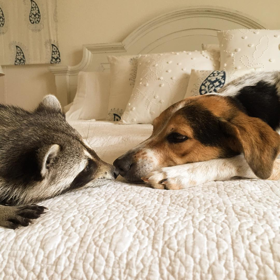 Raccoon-Rescued-9