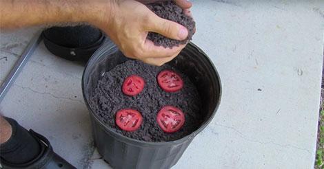 rondelles-tomate-apres-12-jours