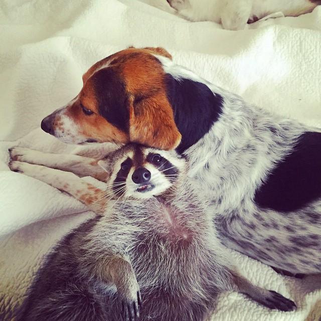 Raccoon-Rescued-11