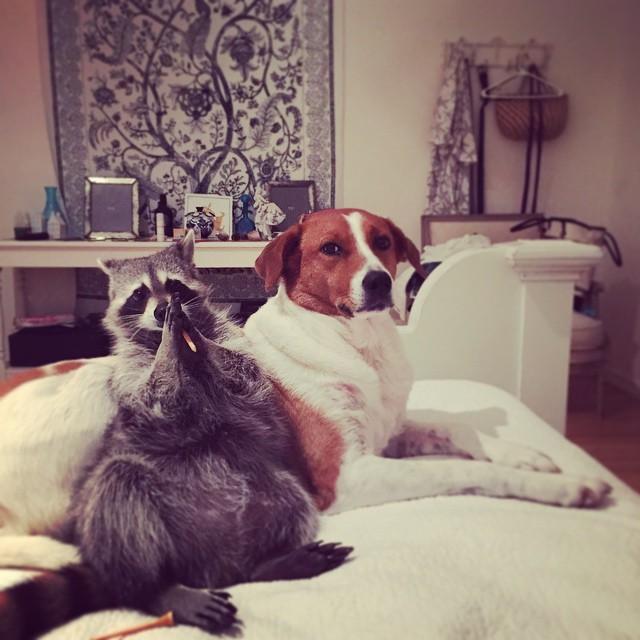 Raccoon-Rescued-13