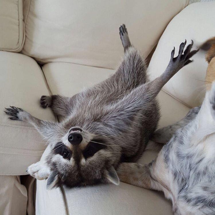 Raccoon-Rescued-14