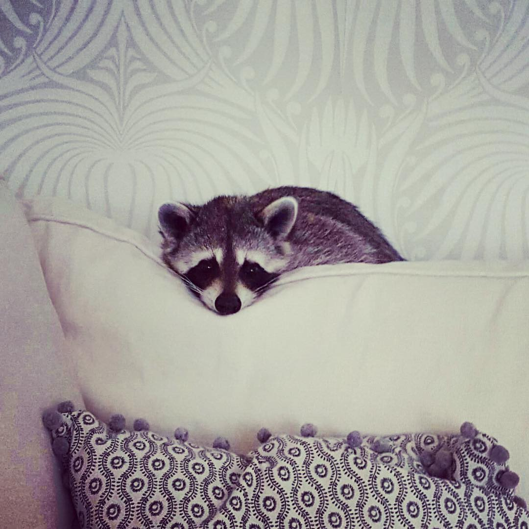 Raccoon-Rescued-18