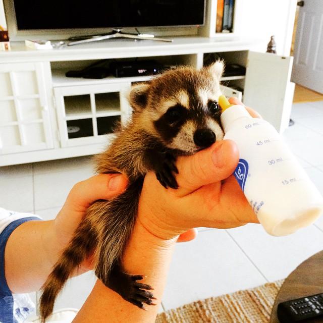 Raccoon-Rescued-2