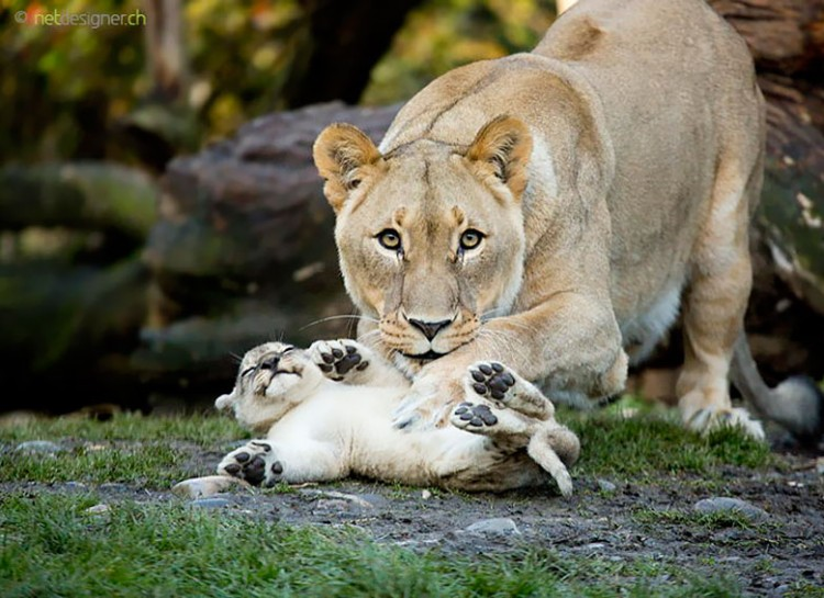 animal-parent-15