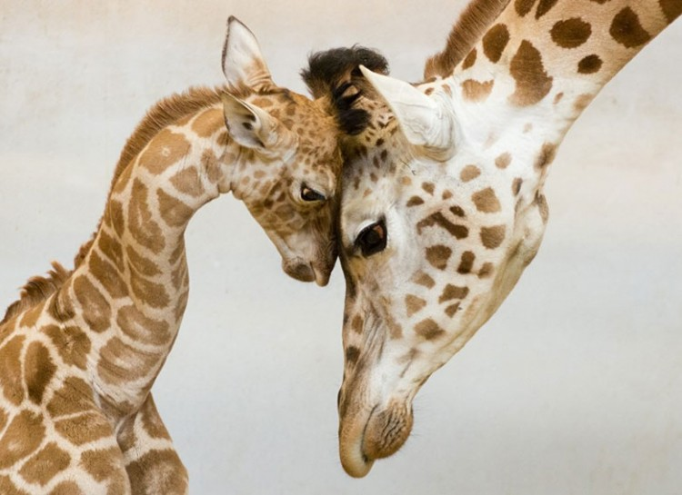 animal-parent-3