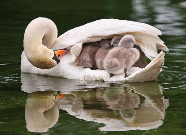 animal-parent-7