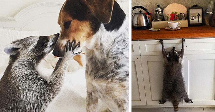 raton-laveur-se-prend-pour-chien