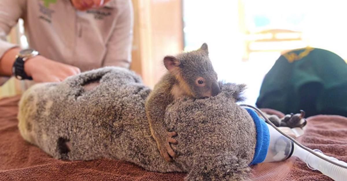 Koala operation
